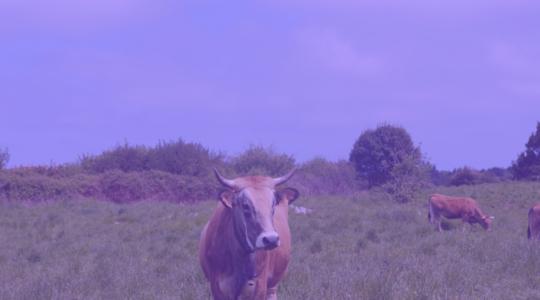 Як створити «пурпурову корову»?